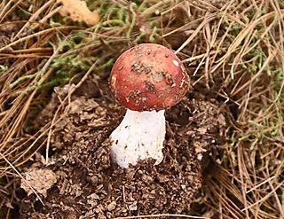 Redcap Mushroom, Senguio