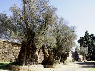 Tzintzuntzan Olive Trees