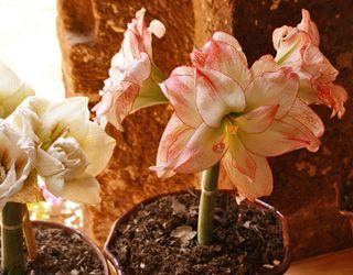 Azucena (Amaryllis) Pink and White