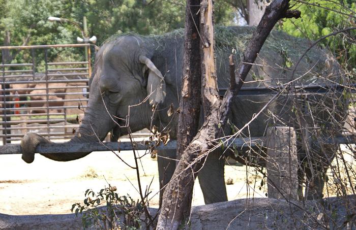 Elephante Solito