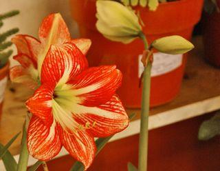 Azucena (Amaryllis)