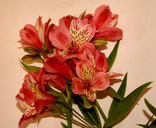 Alstromeria (Peruvian Lily)