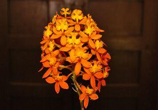 Orquidea Anaranjada