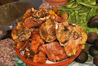 Pig Ear Mushrooms