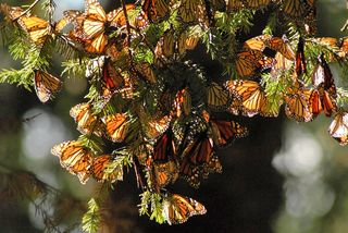 Monarchs Thick in the Trees