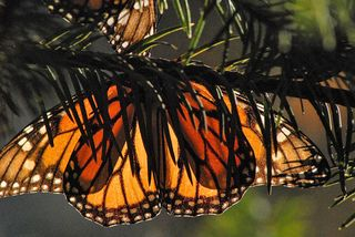 Monarch Stained Glass