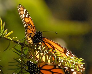 Monarch in the Green