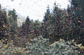 Monarchs in the Trees, Betsy
