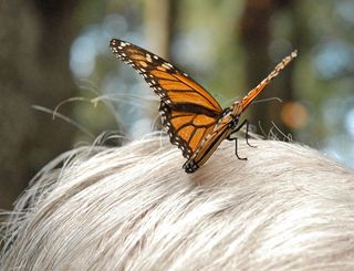 Monarch on White Hair
