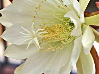 Epiphyllum 2 de cercas