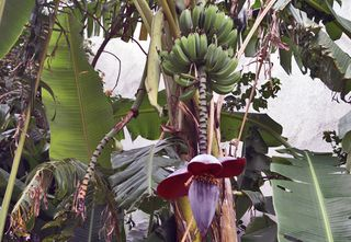 Banana Hand and Flower