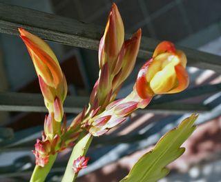 Epiphyllum 3 botones