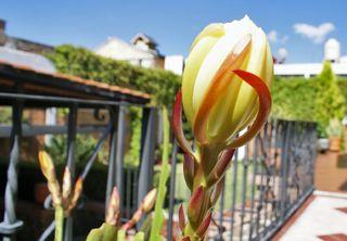 Epiphyllum 6 boton grande mejor