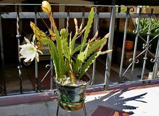 Epiphyllum 4 maceta