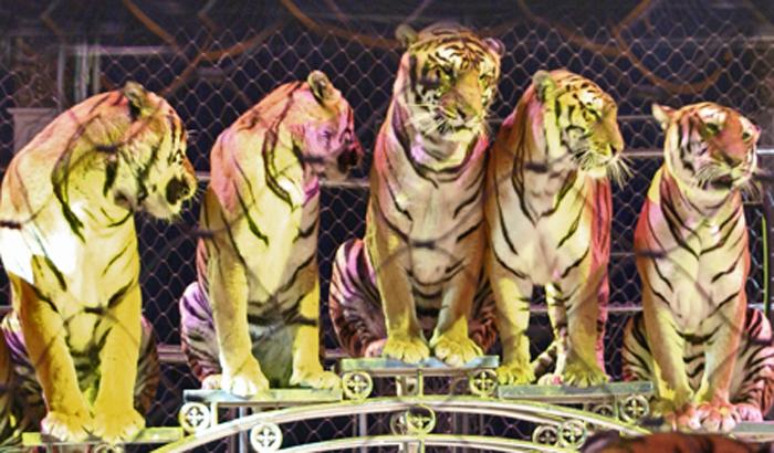 Tigres Sentados