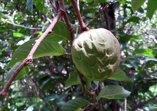 Chirimoya fruit (not ripe)