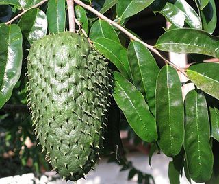 Guanabana on tree