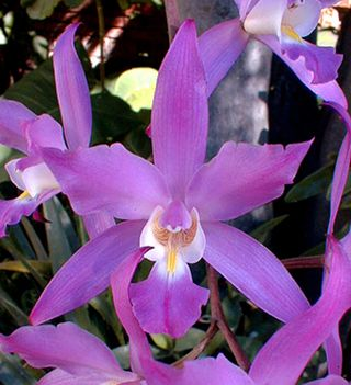 Ajijic_Jalisco_Mexico-Native_Orchids