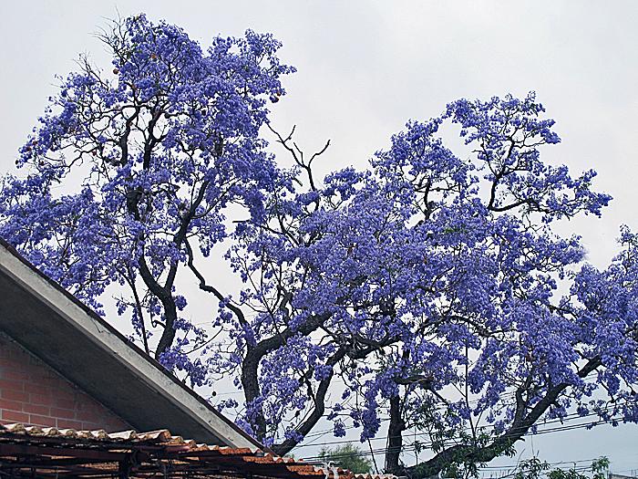 DF Xochimilco Jacarandas Gray Sky