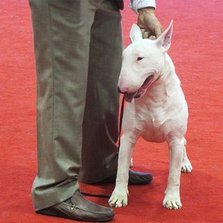 White American Staffordshire Bull Terrier