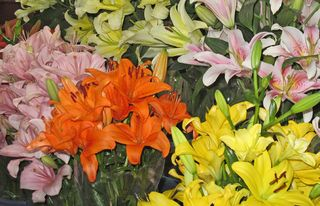 Lirios Multicolores