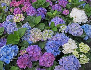 Hortensias April 2014