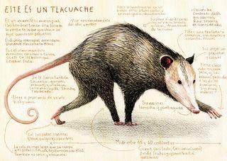 Mezcal tlacuache