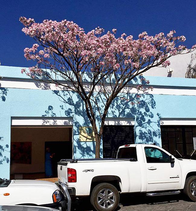 Oaxaca Primavera Tree 2
