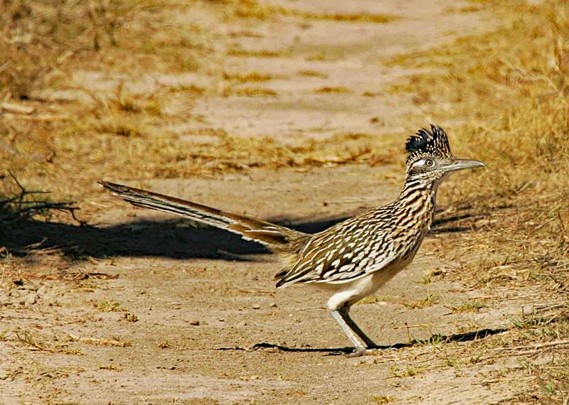 Roadrunner standing still