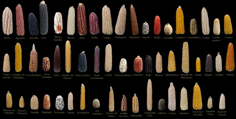 Diversidad-Genetica-de-Maiz--CYMMIT