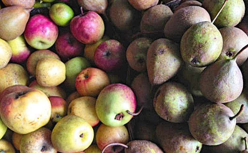 Manzana panochera y pera lechera