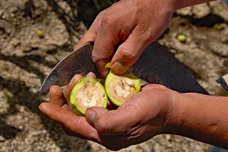 Freshly Cut Walnuts Chile en Nogada