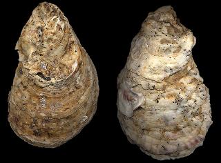 Mandinga Crassostrea virginica