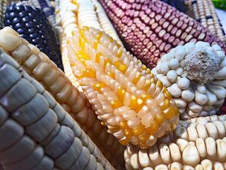 Mexicano maíz palomero 2