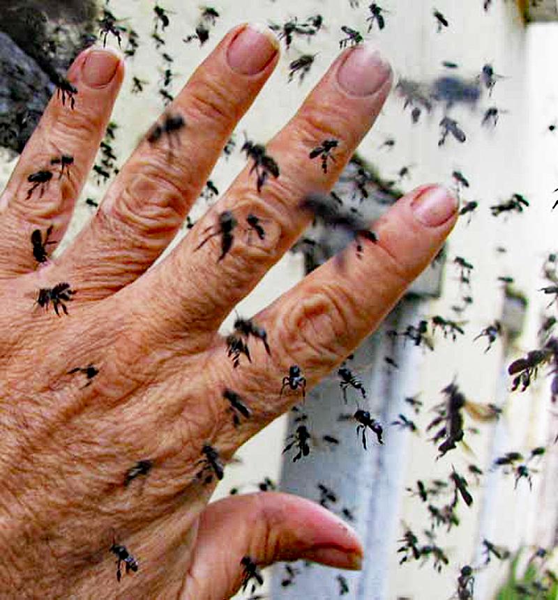 Vainilla Melipona Bees 1