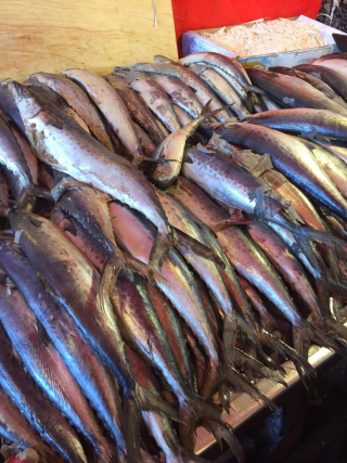 Viga Mackerel 1
