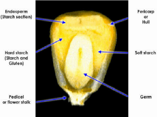 Structure of Corn Kernel
