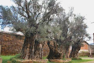 Olive Trees Tzintzuntzan