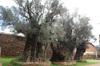 Olive_trees_tzintzuntzan