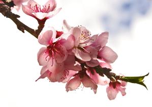 Peach_blossoms